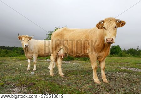 Cows Grazing Fresh Green Grass On The Field. Farm. Animals Graze On A Meadow. Cows On Pasture. Milk