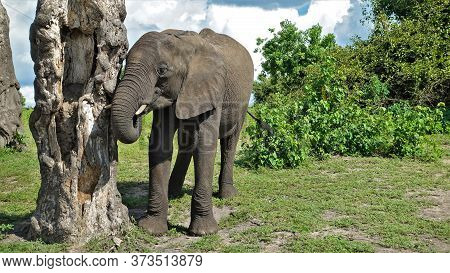 A Cute Baby Elephant Stands Near The Trunk Of An Old Tree. Eyes With Long Eyelashes, Short Tusks, To