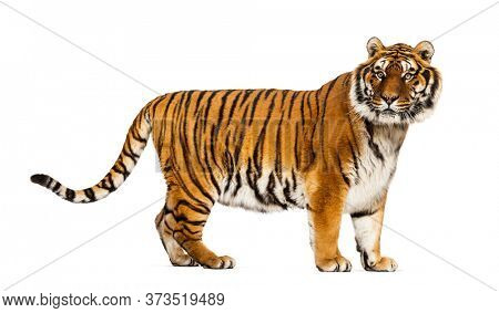 Side view, profile of a Tiger standing and looking at the camera, isolated on white