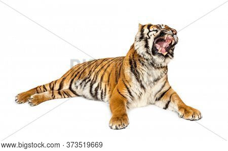 Tiger roaring lying down isolated on white