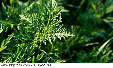 Ragweed - Allergy Causing Grass. Ragweed Allergies In Dogs, Symptoms & Treatment
