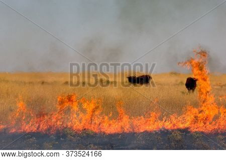 Black Cows On The Pasture Surrounded By Burning Dry Grass During Summer Heat Wave