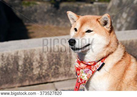 Close Up To Shiba Inu; Japanese Dog, Portraiture.