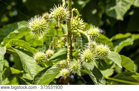 Young Fresh Chestnut Seeds Growing On A Chestnut Tree