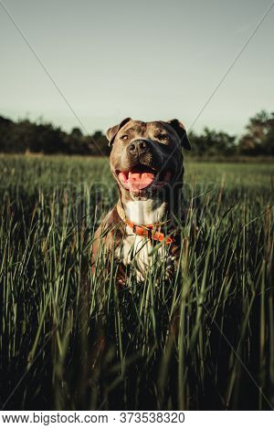Vertical Portrait Of Blue American Staffordshire Terrier (amstaff) Sitting In The Grass In Nature. A