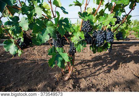 Vineyards At Sunset In Autumn Harvest