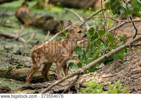 Young Roe Deer Eats Leaves From A Tree In A Wood, Very Young Specimen Of European Ungulate