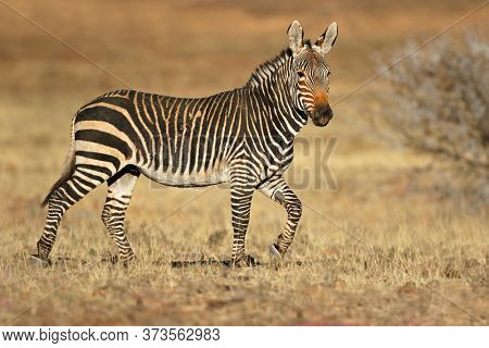 Cape mountain zebra (Equus zebra) in natural habitat, Mountain Zebra National Park, South Africa