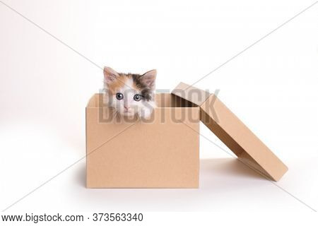 Sweet Calico Kitten in a Box on a White Background