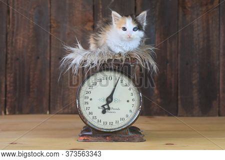 Adorable Calico Kitten Sitting on an Antique Scale