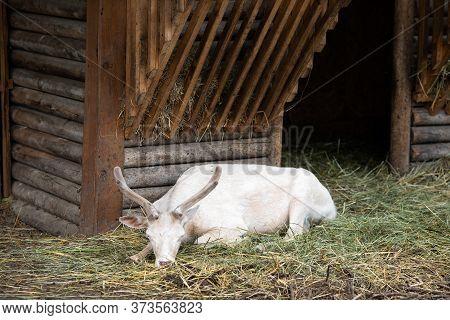 White Deer, Albino Doe Resting In The Zoo In An Aviary. (dama Dama)