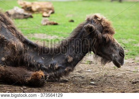 A Dark Brown One-humped Dromedary Camel Lies In A Zoo