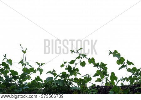 Tropical Ivy Plant With Leaves On White Isolated Background For Green Foliage Backdrop