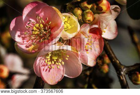 Pink Flowering Quince Chaenomeles Blossom Flowering Macro Bellevue Washington State