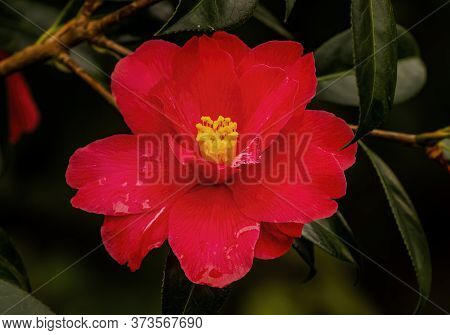 Pink Red Camellia Blooming Macro. Common To China And Japan
