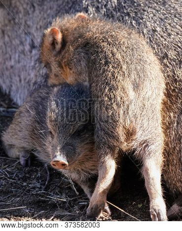 A Baby Javelina Climbs On Top Of Its Sibling On A Sunny Afternoon.