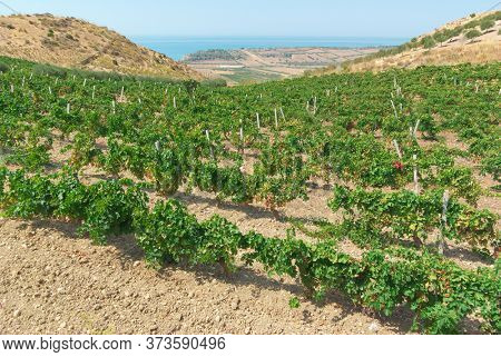 vineyard with the sea at horizon in a scenic hill countryside of Sicily in summer