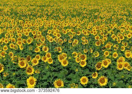 Sunflower Field Nature Scene. Yellow Sunflowers. Sunflower Field Landscape. Sunflower Field