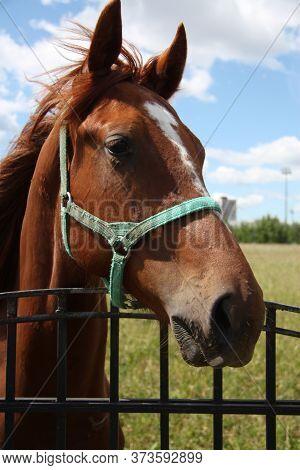 Portrait Of A Thoroughbred Chestnut Stallion. Animal