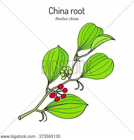 China Root Smilax China , Medicinal Plant. Hand Drawn Botanical Vector Illustration