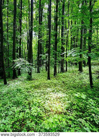 Forest, Beautiful Woodland With Plants And Trees