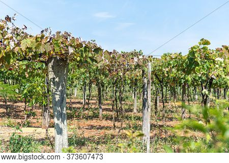 Vine, Vite, Vines, Vines, Vineyards Or Grapevines Are Denominations Of The Plant Genus Of The Vitace
