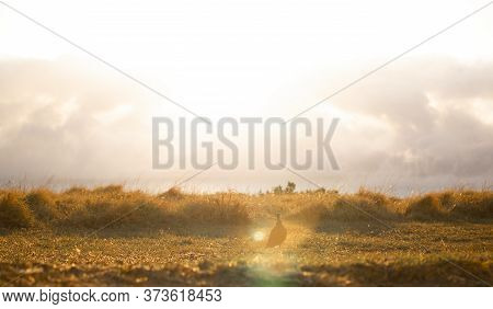Beautiful Golden Sunset Or Sunrise Of A Collared Dove In A Grass Field.