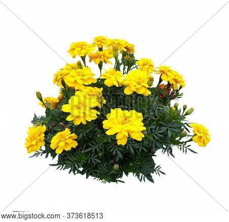 Isolated On A White Background Bush Of Yellow Dwarf Marigolds. Autumn Flowers On A Blank Background.