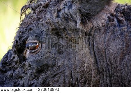 Close-up Of A Part Of Head Of A Black Highland Cattle Cow In Very Tall Grass. Cattle Come In Differe