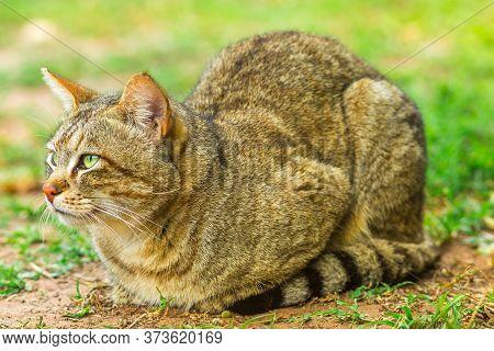 African Wild Cat, Felis Libyca, Standing On The Bushland. Wild Cat Feline In Natural Habitat Outdoor