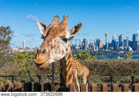 Sydney, Australia - July 23, 2016: African Giraffe In Taronga Zoo With Sydney Cityscape On The Backg