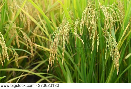 Rice field on rice paddy green color lush growing is a agriculture
