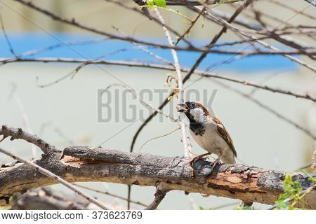 House Sparrow (passer Domesticus) Captured While Perching On A Branch And Singing