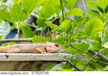 Oriental Garden Lizard (calotes Versicolor) Captured On A Wall Surrounded By Bright Green Leaves