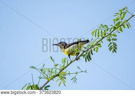 Purple Rumped Sunbird (leptocoma Zeylonica) Captured While Walking Along A Twig
