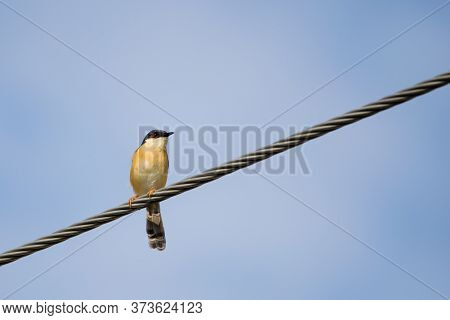 Portrait Of Ashy Prinia (prinia Socialis) Captured While Sitting On A Powerline With Blue And Clear