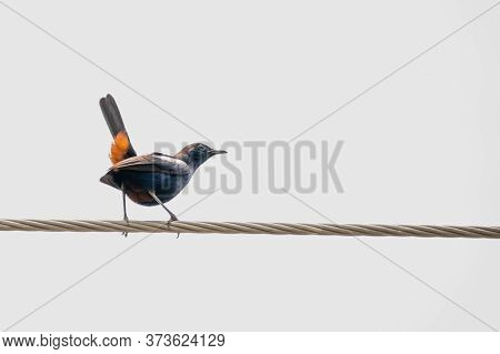 Indian Robin (copsychus Fulicatus) Perching On A Power Line With Its Orange Tail Feathers