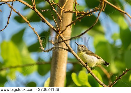 Purple Rumped Sunbird (leptocoma Zeylonica) Perched On A Tree With Bright Green Leaves