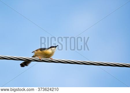 Portrait Of Ashy Prinia (prinia Socialis) About To Take Off From A Powerline With Blue And Clear Sky