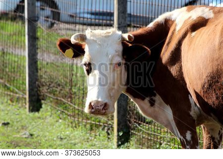 Brown And White Cow With Pointy Horns And Yellow Ear Tag Looking Curiously At Camera While Standing
