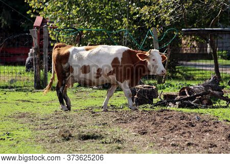 Light Brown And White Cow With Dirty Legs And Pointy Horns Walking Inside Wire Fence Area At Local F