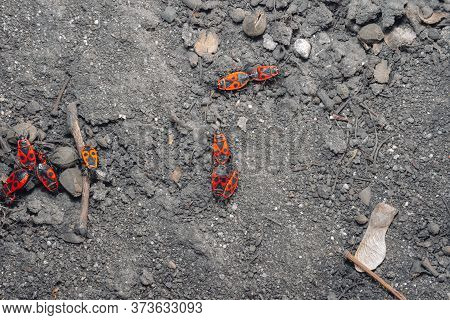 Insect Mating Period. Pyrrhocoris Apterus.insect Mating Period. Pyrrhocoris Apterus