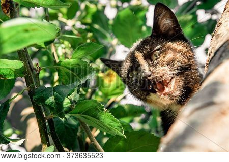 Portrait Of A Young Shorthair Frightened Cat Hiding Into The Tree, Looking Down And Meowing For Help