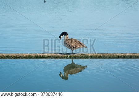 Canada Goose, Branta Canadensis. Reflection In The Water. Blue Water As A Background. Picture From S