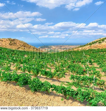 vineyard with the sea at horizon in a scenic landscape of Sicily in summer below cloudscape