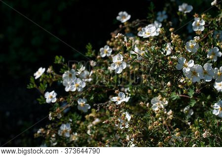Close-up Of A White Flowering Bush Of A Shrubby Cinquefoil