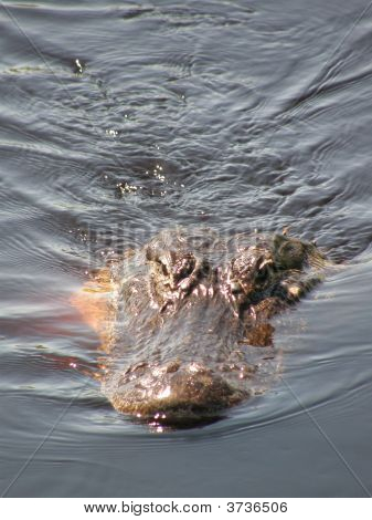 South Florida Alligator