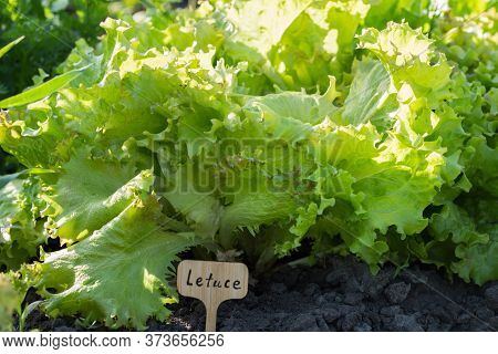 A Young Letuce Plant Seedling,  Sunlit In Close Up, Growing Outdoors In An Garden.