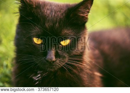Yellow Eyes Of A Black Cat With Narrow Slitted Black Pupil. A Beautiful Old Cat With Green, Intellig