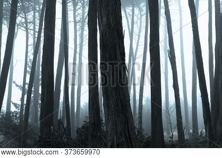 Monterey Cypress Forest In Thick Fog. The Presidio Of San Francisco, California, Usa.